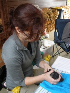PhD student Josie Galbraith measuring urban birds to assess their health status.