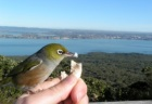 Silvereye are on of the few native birds in urban areas that eat bread.