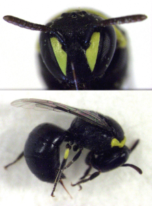 "Female masked bee showing lack of yellow antennae and reduced face ""mask"" compared to male bee (see earlier post)."
