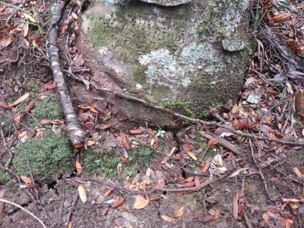 Cracking soil at the base of a kauri tree on March 2013