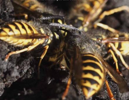 Vespula wasps