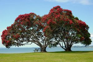 A Pohutukawa in full bloom. This species typically flowers from Dec-Jan. Credit: by Ed323 at en.wikipedia (Transferred from en.wikipedia) [Public domain], from Wikimedia Common.