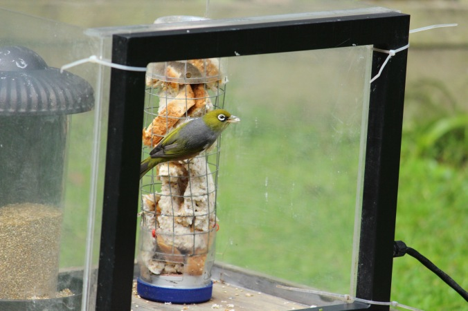 Native silvereye at experimental feeding station