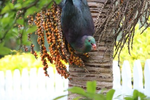 Kereru (Hemiphaga novaeseelandiae), New Zealand's native pigeon, feeding on Nikau Palm (Rhopalostylis sapida) fruit