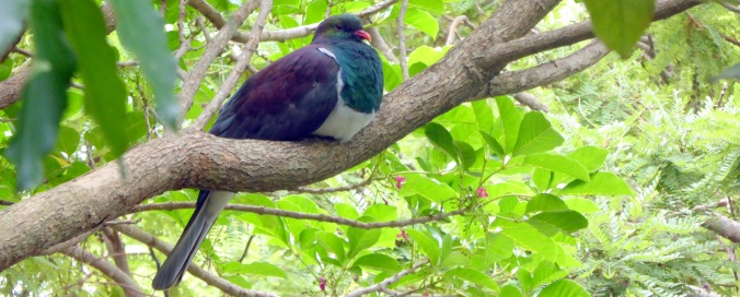 New Zealand's native pigeon, the kererū, are important seed dispersers as they swallow fruits whole.