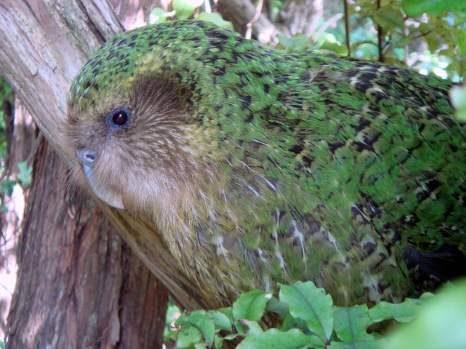 Kākāpō are a large, flightless nocturnal parrot, found only in New Zealand.  They have their own facebook page and crowd-funding campaign which contributes to the recovery of this species.