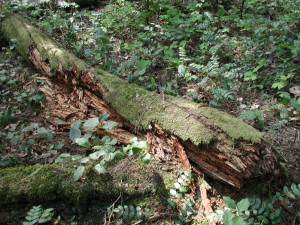 Rotting log (coarse woody debris) on forest floor