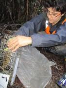 Live capture of a rat during a capture-recapture study