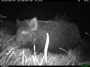 camera trap feral pig