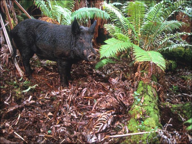 feral pig image