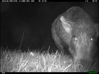Feral Pig, Hawkes Bay - Patrick Garvey