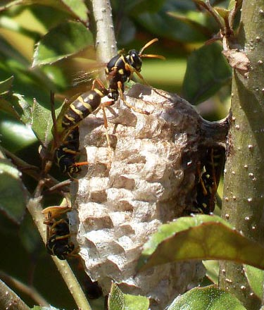 Asian Paper Wasp -small.jpg
