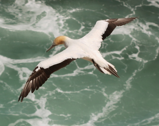 australasian_gannet_28morus_serrator29_in_flight2c_from_above