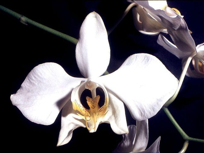 Phalaenopsis_amabilis_Orchi_03