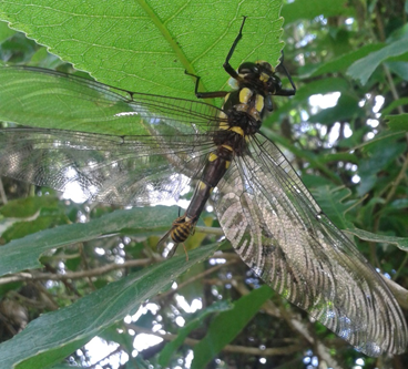 Vesp on Odonata