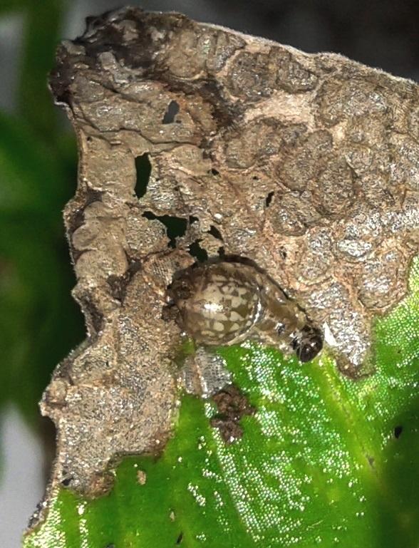 larva-for-blog