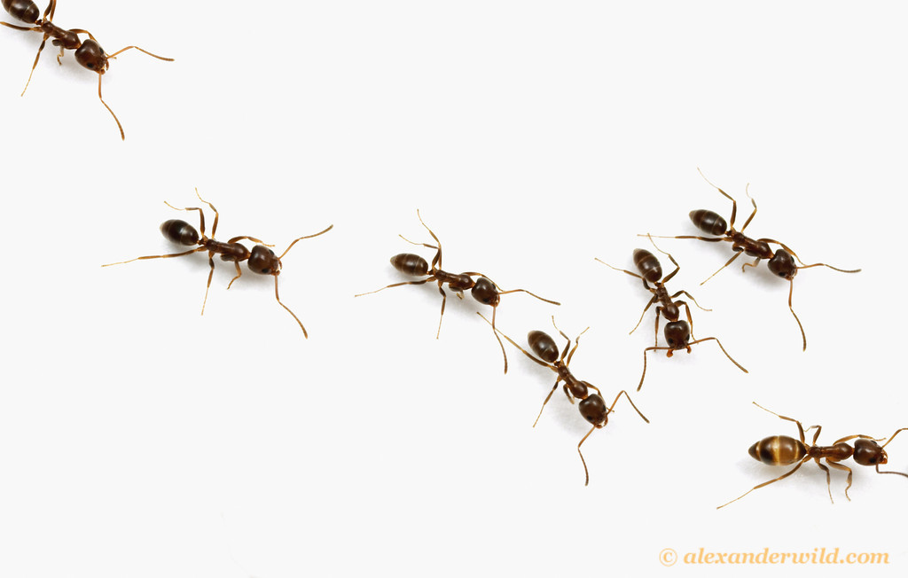Using science to help eradicate Argentine ants   Ecology Ngātahi