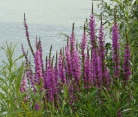 Figure two Lythrum salicaria. Image source from Wikimedia commons Lythrum salicaria
