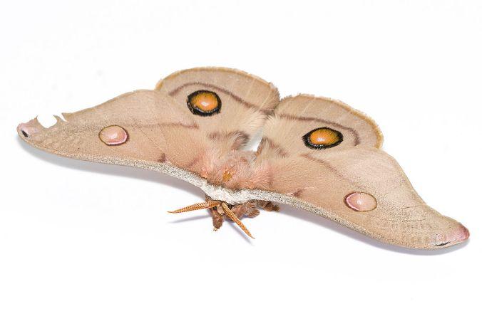 1280px-Female_emperor_gum_moth