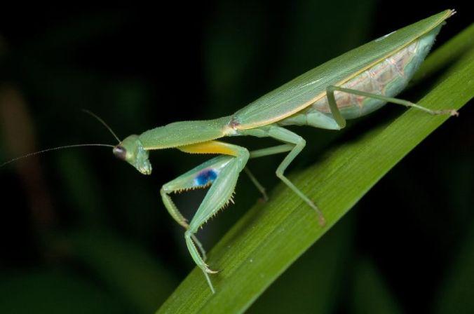 Female_New_Zealand_Mantis_(Orthodera_novaezealandiae)_from_side