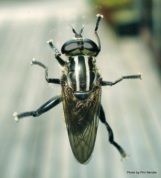 Orthoprosopa_bilineata__Syrphidae_
