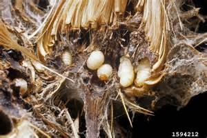 Rhynocyllis larvae