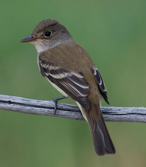 South western willow flycatcher