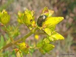 St johns wort and beetle