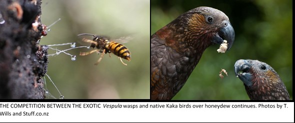 Image 1 Kaka and wasp image