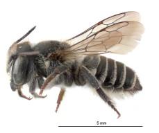 Megachile rotundata NZAC04118287
