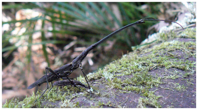 1920px-lasiorhynchus_barbicornis_male_and_female